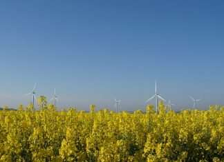 Yellow plants on the bottom half of the image with a blue sky above. Several wind mills are in the background.